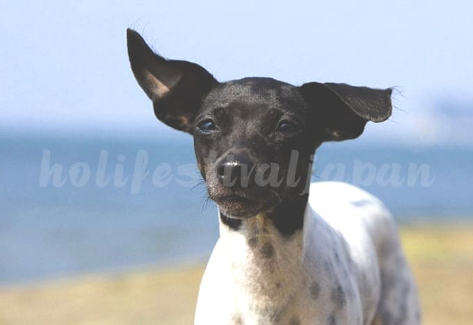 Japanese Terrier 680x467 - สุนัขสายพันธุ์ต่างๆที่นิยมในประเทศญี่ปุ่นและต่างชาติ