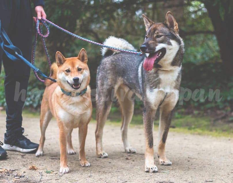 Shiba Inu and Shikoku Inu 809x637 - สุนัขสายพันธุ์ต่างๆที่นิยมในประเทศญี่ปุ่นและต่างชาติ